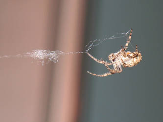 Hammock Spider At Work by cubs2084