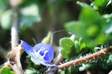 blue tiny flower by Kaszydlo