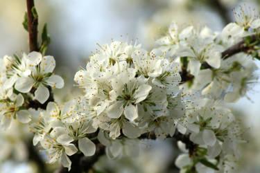 Plum Tree Flowers 5 by LovingInTheLongGrass