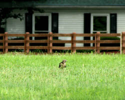 Hawk on the Hunt by LovingInTheLongGrass