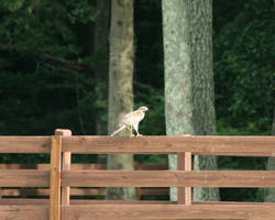 Hawk on the Fence by LovingInTheLongGrass