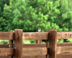 Bluebird on the Fence by LovingInTheLongGrass