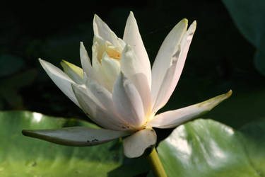 Lotus Calm by LovingInTheLongGrass