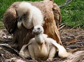 Griffon Vulture Chick by Mouselemur