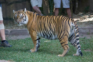 tiger 6 by xxMysteryStockxx