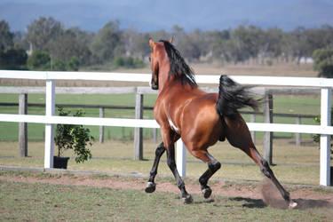 Pinto arab Long back leg stretch by xxMysteryStockxx