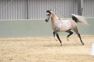 Arabian light grey stock by xxMysteryStockxx