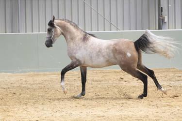 Arabian light grey stock 1 by xxMysteryStockxx