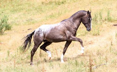 Appaloosa stallion stock by xxMysteryStockxx