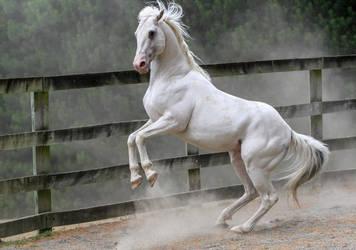 White stallion rear 2 by xxMysteryStockxx