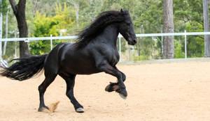 Friesian Stallion stock 4 by xxMysteryStockxx
