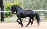 Friesian Stallion stock by xxMysteryStockxx