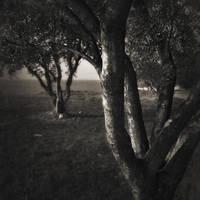 olive trees... by Kaarmen