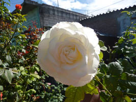 rosa blanca by LunaNegra1949