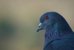 Pigeon by ZairGou44