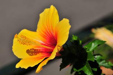 L'hibiscus en pleine lumiere by scubapic