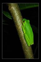 Green Tree Frog by zumbooruk