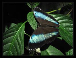 Blue Morpho by zumbooruk