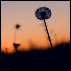 Sunset Dandalion by hesitation