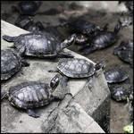 Turtles B/W 2 by hesitation