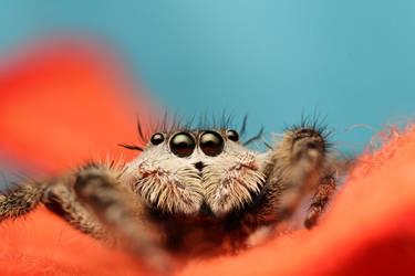 Jumping Spider by BenjaminPuppel