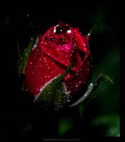 Rosa by BeautifulDisasterIam