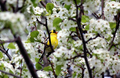 Gold finch in a Pear tree by sugartwins