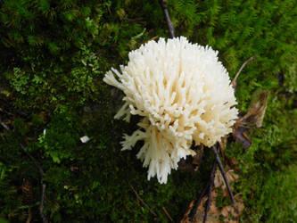 Coral Fungus by Krymsan