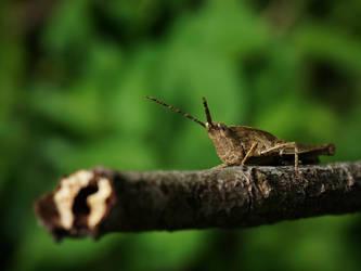 Brown Grasshopper by WillTC