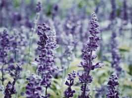Lavender by WillTC