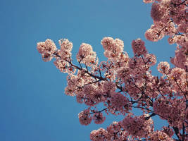 Blossoms Sky by WillTC