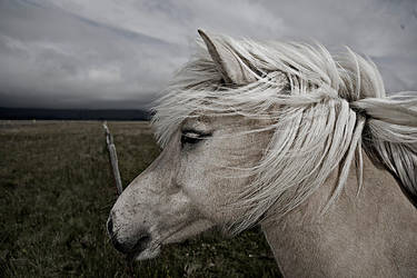 Icelandic horse by neis69