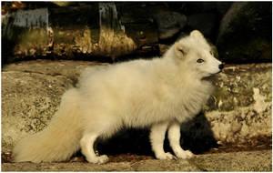 Foxi by Svenimal