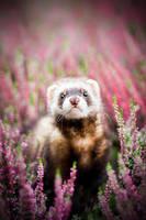 Heather ferret by TrablaMonRon