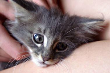 Kitten(: by cookiedoughkitty377