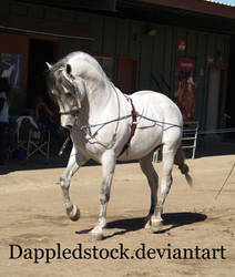 Andalusian 03 by dappledstock