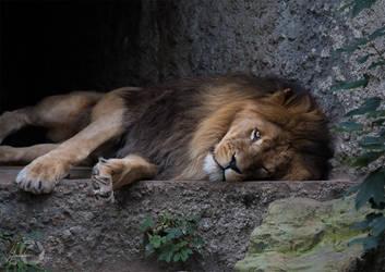 Caesar - Lion - Panthera Leo by Yuukon