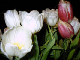 pink and white tulips by tijir