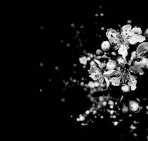 blossom by dan4e