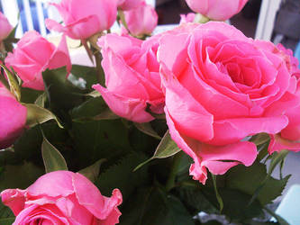 Pink Roses by Juniper85