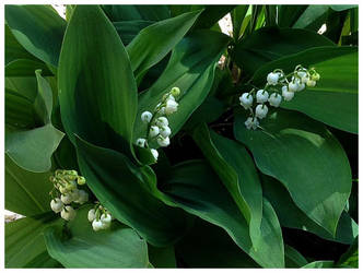 Spring in my garden 2018: Lily of the valley by Ysydora