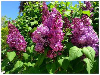 Spring in my garden 2018: Lilac by Ysydora