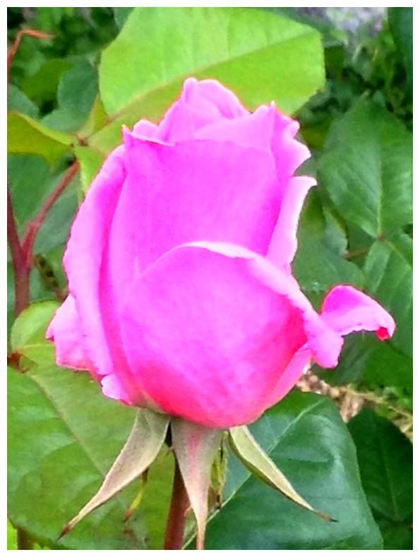 Spring in my garden 2018: Rose 1 by Ysydora