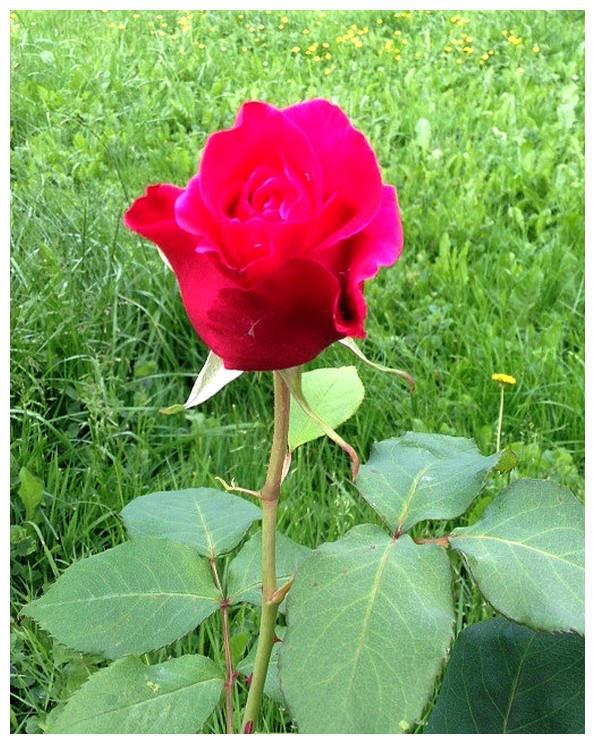 Spring in my garden 2018: Rose 2 by Ysydora