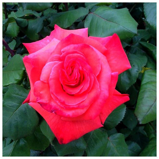 Spring in my garden 2018: Rose 4 by Ysydora