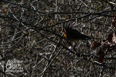 Robin Too by AndrewBertGreaves