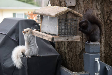 White and Black Squirrels by xSweetSlayerx