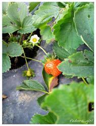 Strawberry Fields by fedoragirl