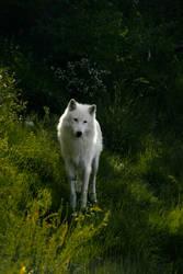 White wolf II by Croc-blanc