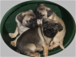 Baby Pugs by Jdevlin